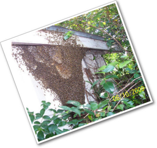 Bee Swarm on a House!